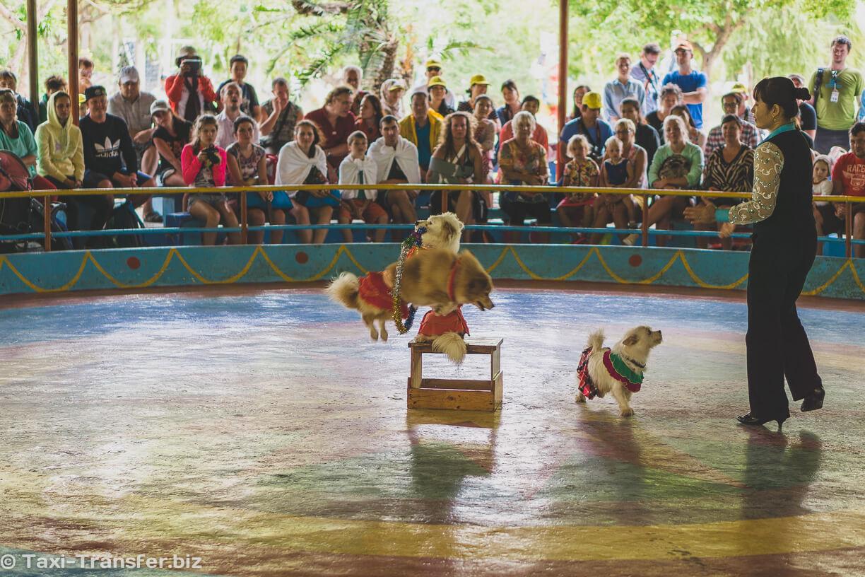 21. Шоу с участием обезьян и собак